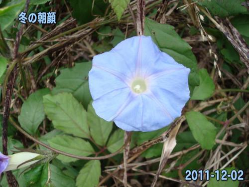 Fuyuasagao